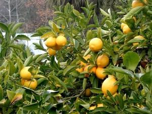 800px-Lemon_tree_Berkeley_closeup